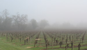Vineyards in fog