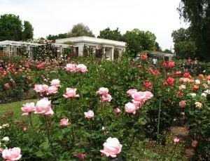012_Many Roses