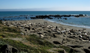 Elephant Seals Hanging Out