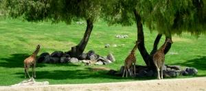 Shady giraffes