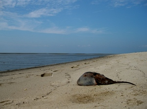 Bay with Horseshoe Crab