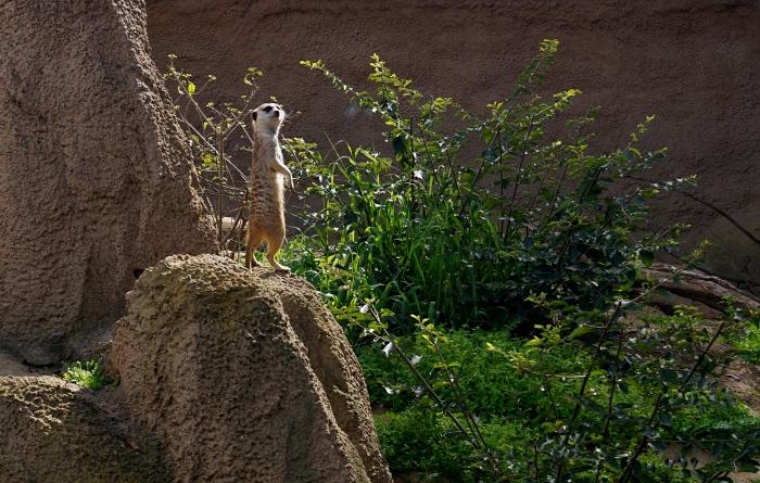 Meerkat Pandering